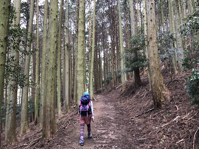 野登山 ミツマタの森ルート 林道 しな