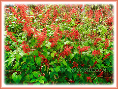 Salvia splendens (Scarlet Sage, Red Salvia, Tropical Sage), 5 Aug 2011 flowering beautifully in abundance