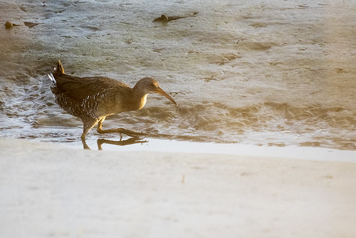 Brigantine: Clapper Rail Bathing at Sunset