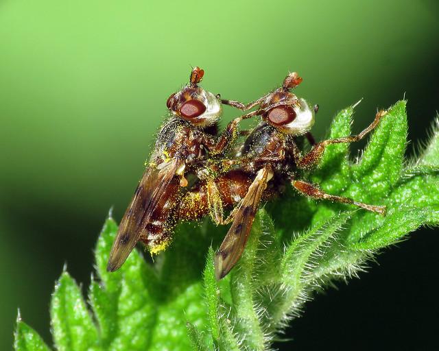 Myopa cf. tessellatipennis