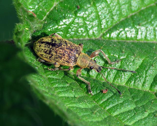 Nettle Weevil - Phyllobius pomaceus