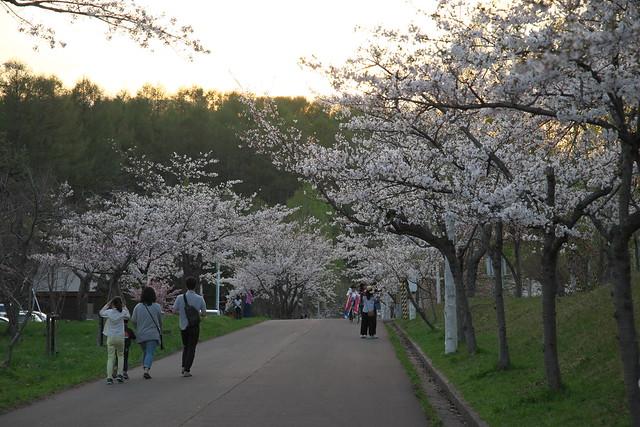 20170505東明公園の桜_06