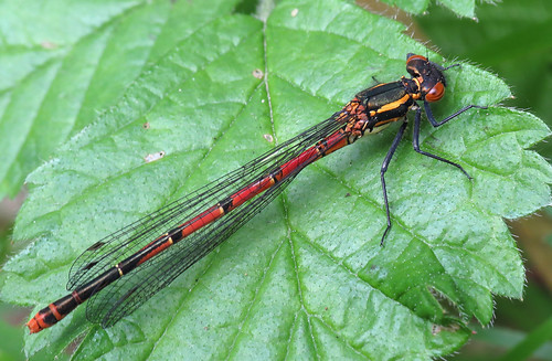 Large Red Damselfly Pyrrhosoma nymphula Tophill Low NR, East Yorkshire April 2017