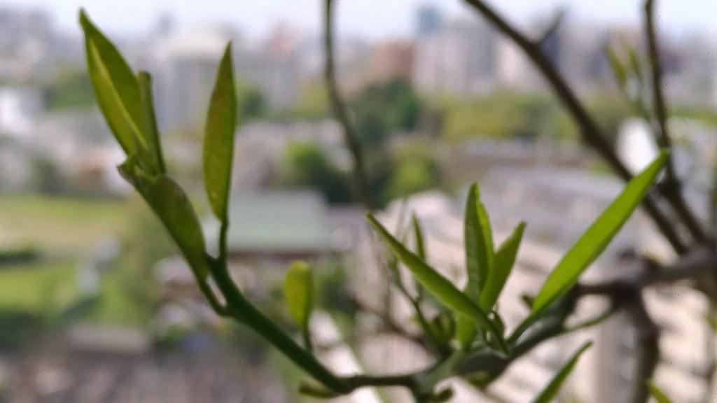 リスボンレモンの新芽