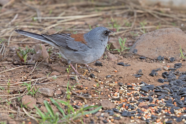 Red-Back-Junco-70-7D2-042717