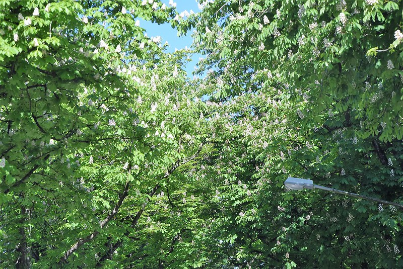 Horse Chestnut Trees 17.05 (1)