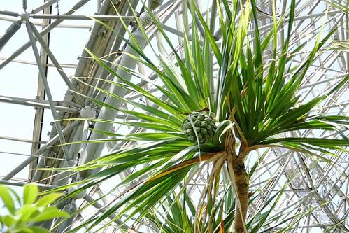 "Yumenoshima Tropical Greenhouse Dome_(2017_05_05)_11_resized_1 ""夢の島熱帯植物館"" で実が生っている樹木を撮影した写真。"