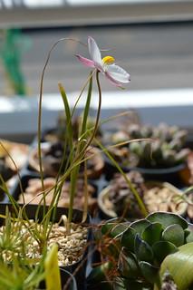 DSC_5800 Cyanella alba 'Pink' キアネラ アルバ 'ピンク'