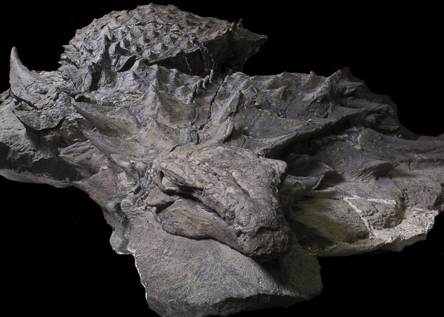Nodosaur (armoured dinosaur) fossil discovered at the Suncor Mine near Fort McMurray