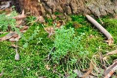 Opercularia ovata Broad-leaf Stinkweed