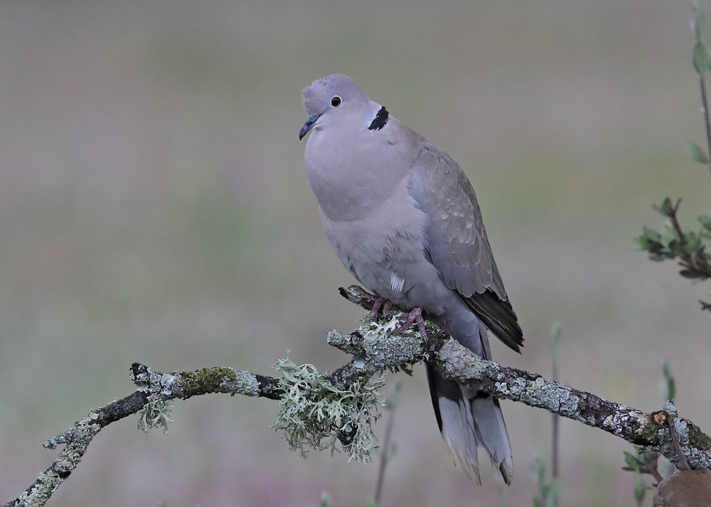 Collard Dove       Streptopelia decaoctoDove 3
