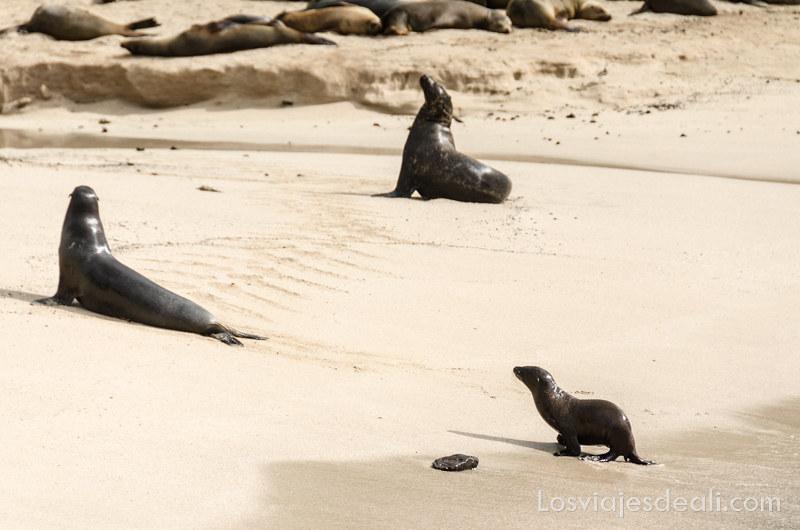 vivir en las islas galapagos lobos marinos