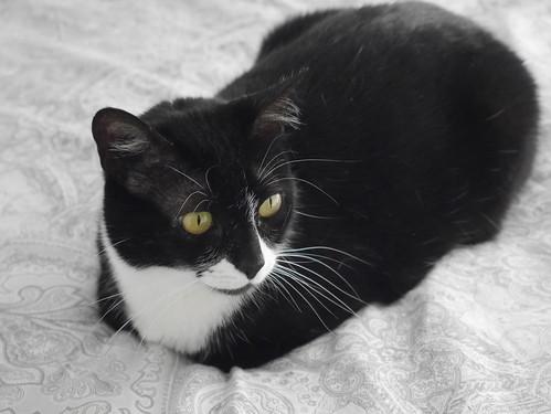 Gitana, gata blanquinegra dulce y tranquila esterilizada, nacida en Febrero´14, en adopción. Valencia. ADOPTADA. 33573736133_d714328637