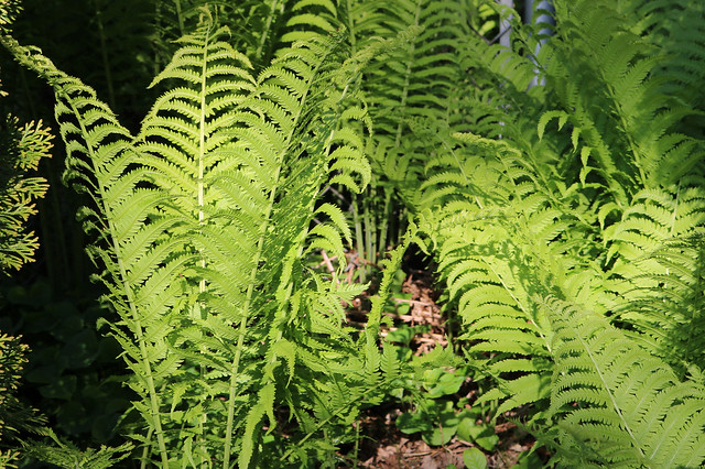 at least six nearly fully-grown ferns