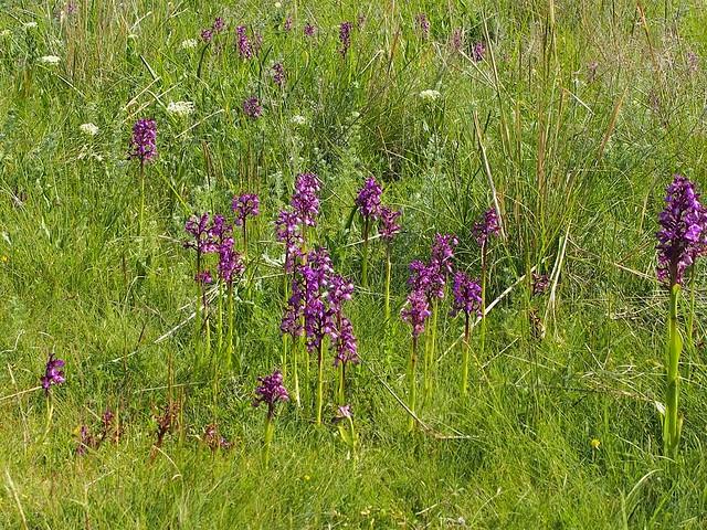 Crimean orchid - 5