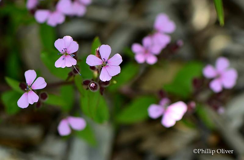 saponaria-ocymoides-rock-soapwort