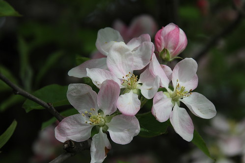 IMG_10082_Apple_Tree_Blossom