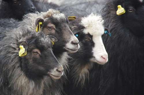Norwegian Sheep | by Lowder Colours