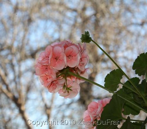 geranium_blooms
