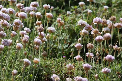 Flores de Sálvora (Armeria)