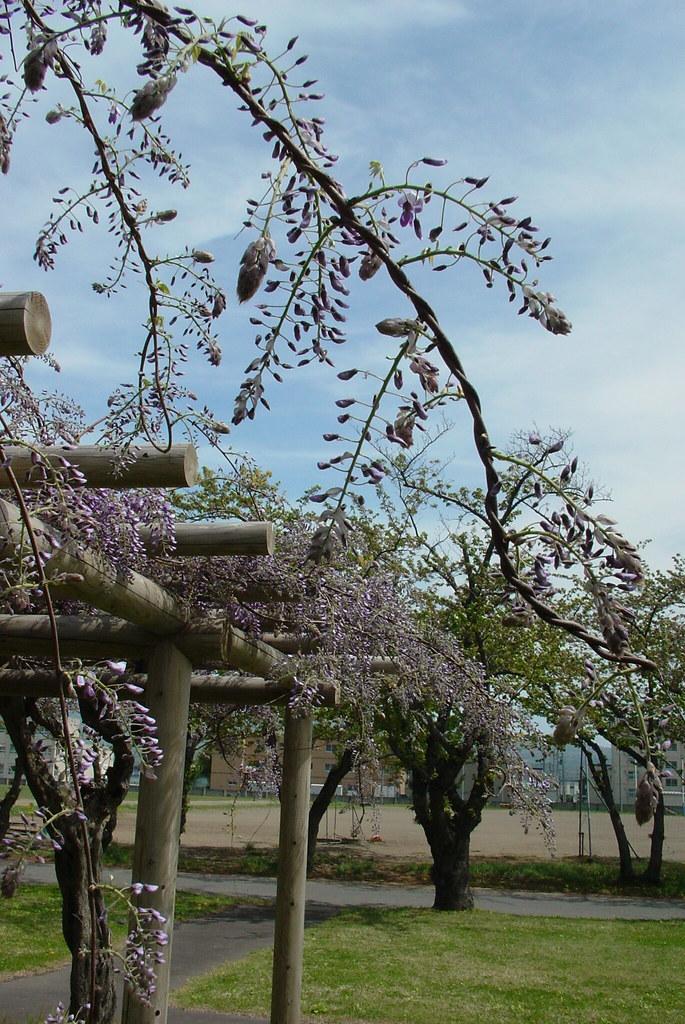 A wisteria trellis