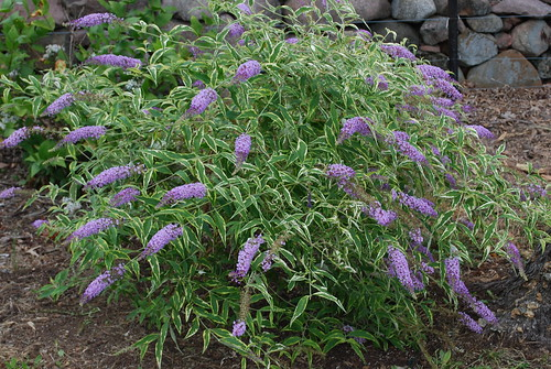 Five New Butterfly Bushes Bring Vibrant Color And Unique Foliage