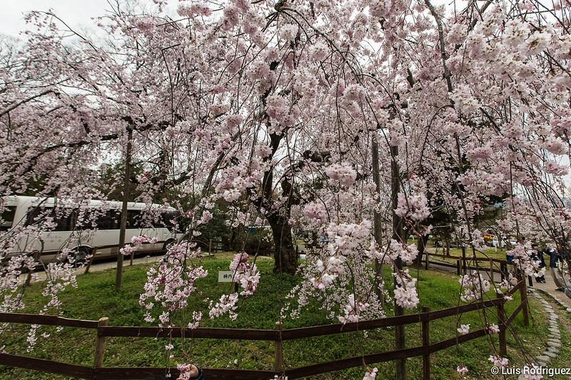 Maruyama-Park-Kioto-44