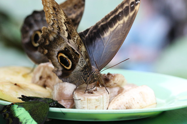 Owl butterfly (Caligo eurylochus) feeding on banana