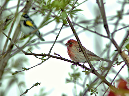House Finch 03-20170502
