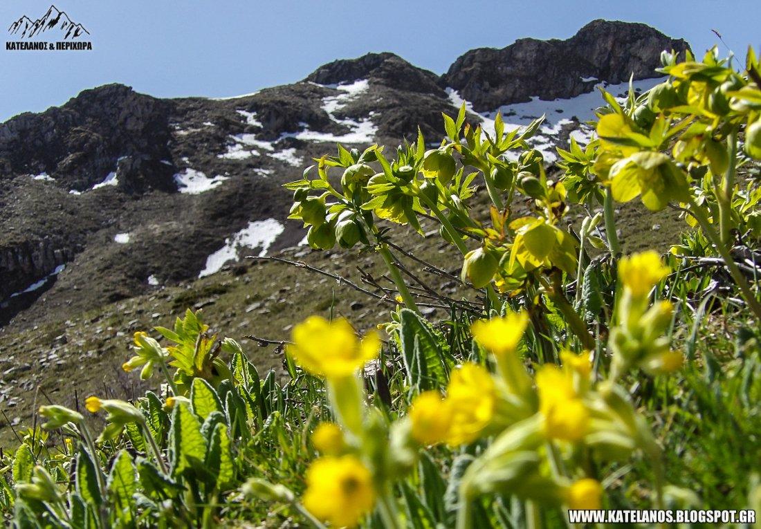 ανοιξη στο βουνο χιονουρες λουλουδια ευρυτανια