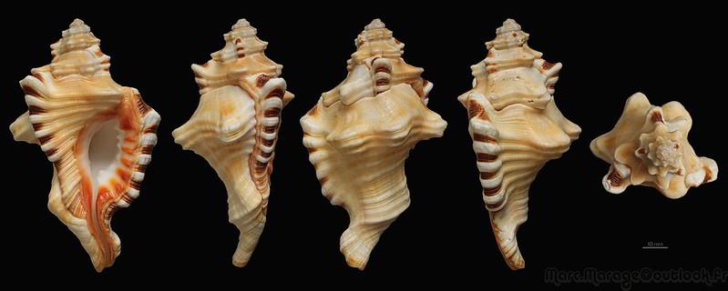 Cymatiidae Lotoria perryi - (Emerson & Old, 1963) voir Lotoria triangularis (Perry, 1811) 34509095735_b1cf7c28ea_c