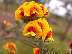 Dilwinnia cinerescense - Parot Pea