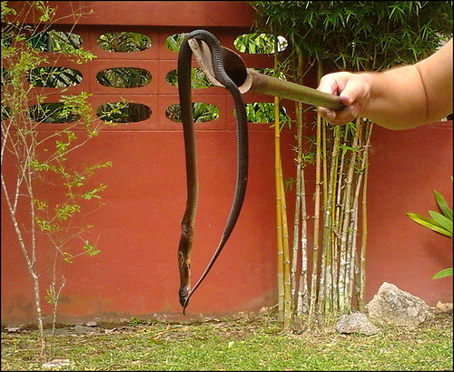 Monocled Cobra (dead)