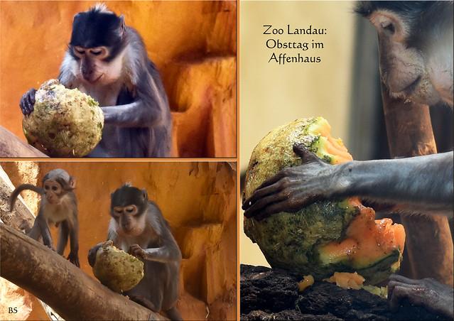 Tierfotografie: Zoo Landau ... Affenhaus ... Obsttag, Melonen ... Fotos: Brigitte Stolle Mannheim
