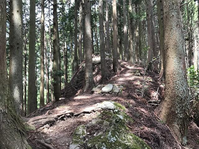 野登山 ミツマタの森 尾根