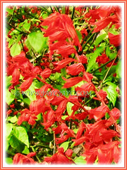 Scarlet red flowers of Salvia splendens (Scarlet Sage, Red Salvia, Tropical Sage), 5 Aug 2011