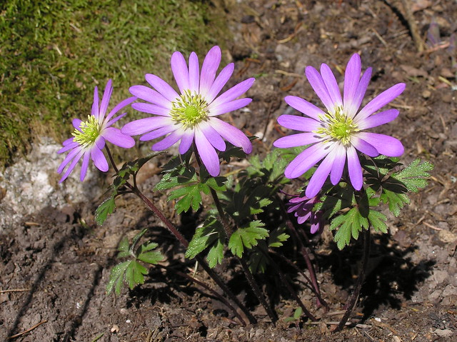 Anemone blanda 'Pink Star'
