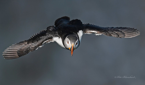 Puffin (explored) | by PETEJLB