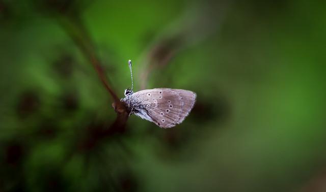 Moth (i)