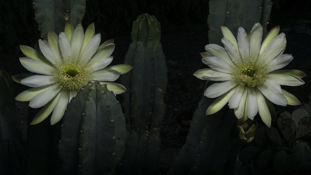Cactus with two white flowers these are night blooming cac flickr cactus with two white flowers by bill gracey 20 million views mightylinksfo