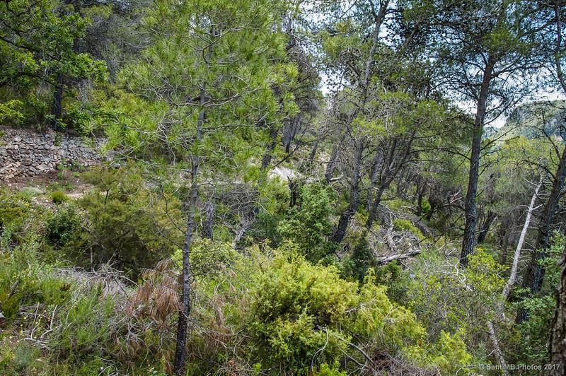 Muchos pinos caídos en el bosque