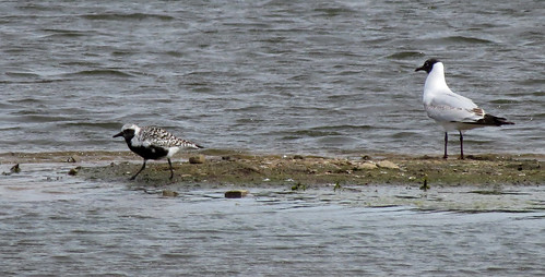 Grey Plover Pluvialis squatarola Tophill Low NR, East Yorkshire May 2017