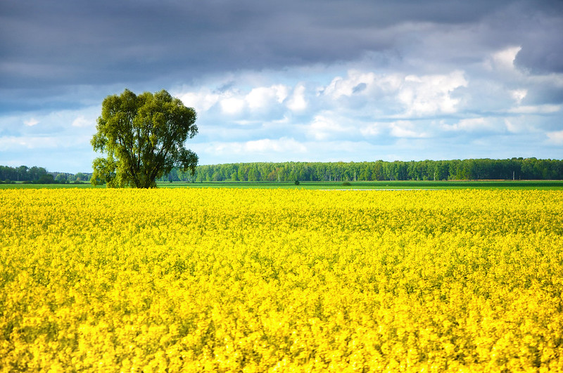 Canola Field in Belarus