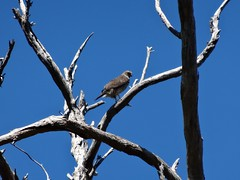 Accipiter cirrocephalus - Collared Sparrowhawk