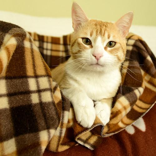 Robin, gato blanco y naranja guapo y súper dulce esterilizado, +inmunodeficiencia nacido en Marzo´15, en ADOPCIÓN ESPECIAL. Valencia. ADOPTADO. 33903011413_c06c8c964e