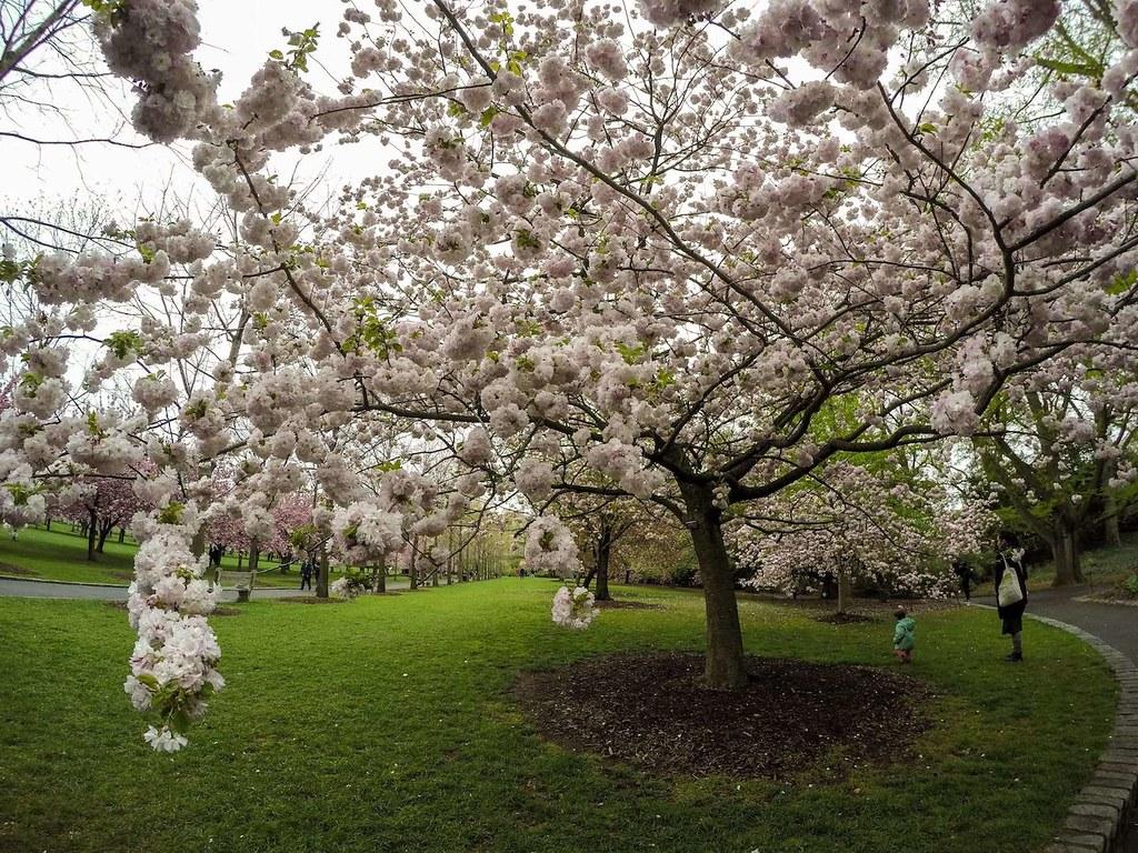 Brooklyn Botanic Garden cherry blossoms 2017