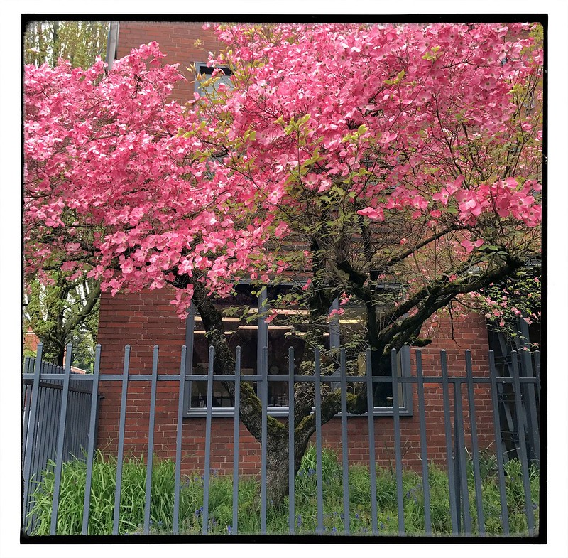 Candy floss pink dogwood. #pdx
