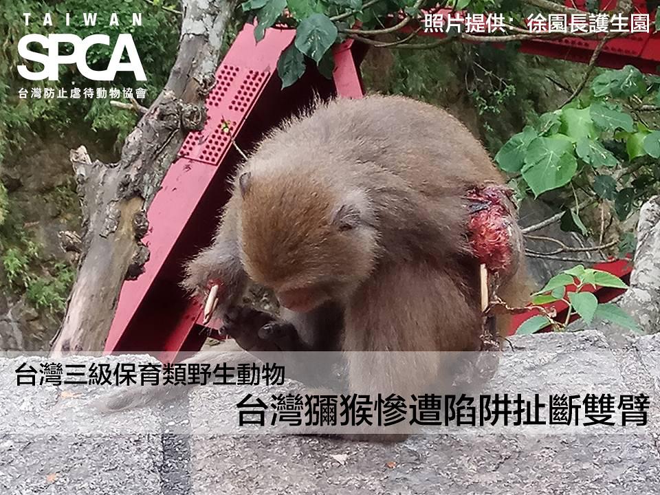 台灣獼猴慘遭陷阱扯斷雙臂