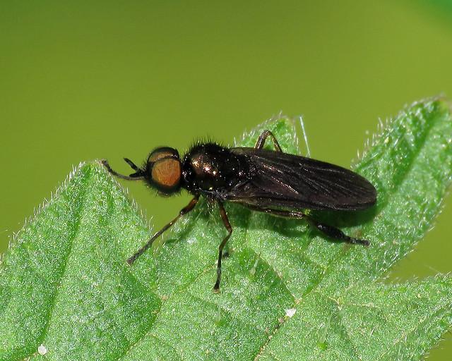 Murky-legged Black Legionnaire - Beris chalybata