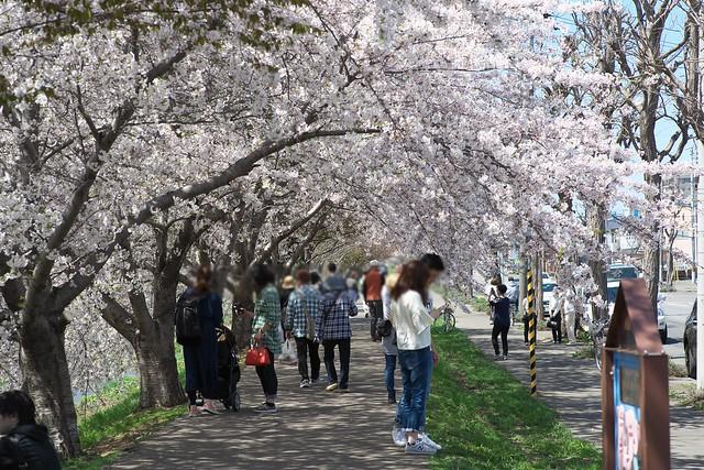 20170504新川さくら並木の桜_15